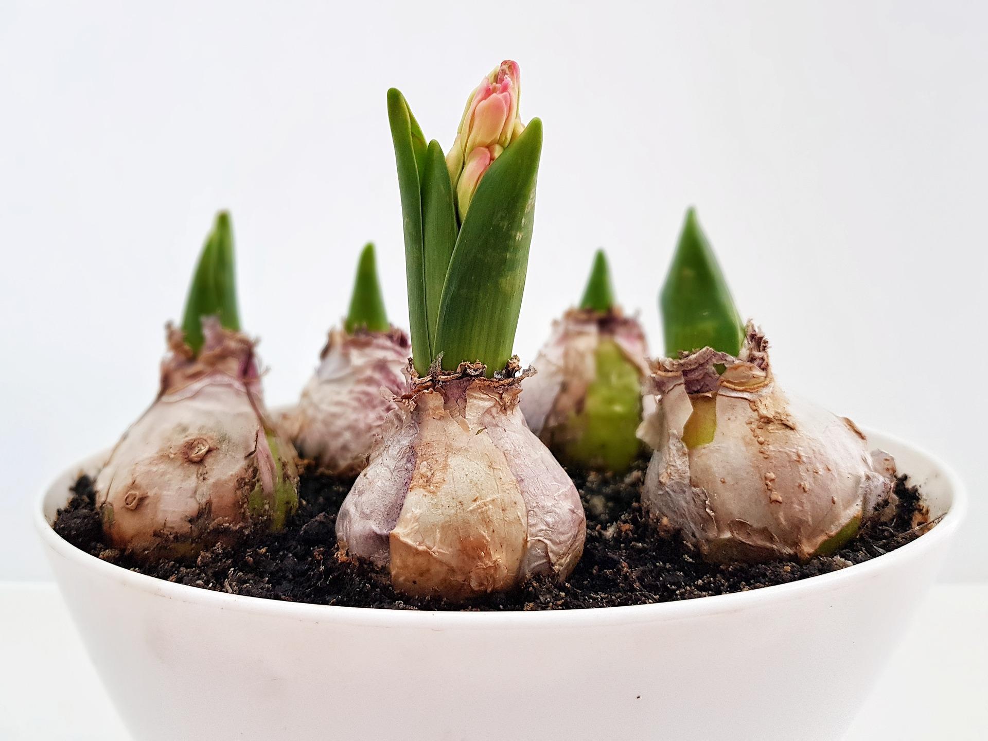 Spóźnione sadzenie cebul kwiatowych