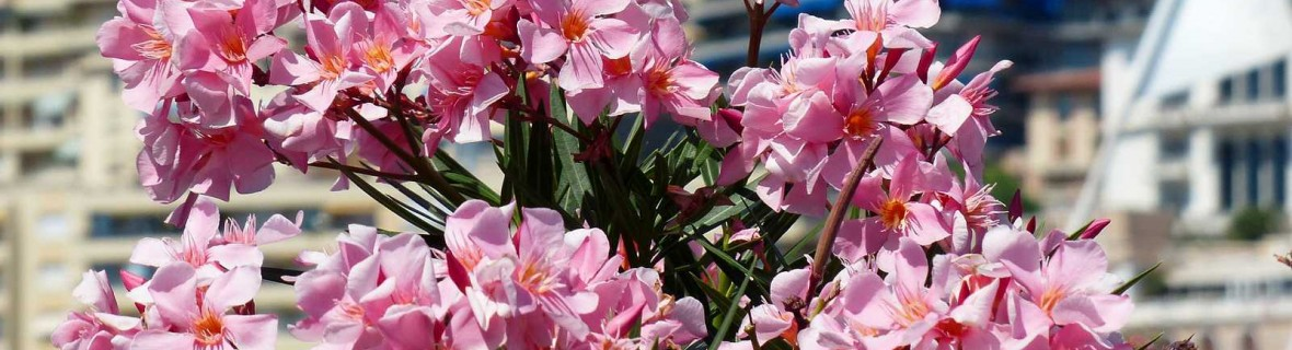 Oleander lubi taras i balkon w lecie