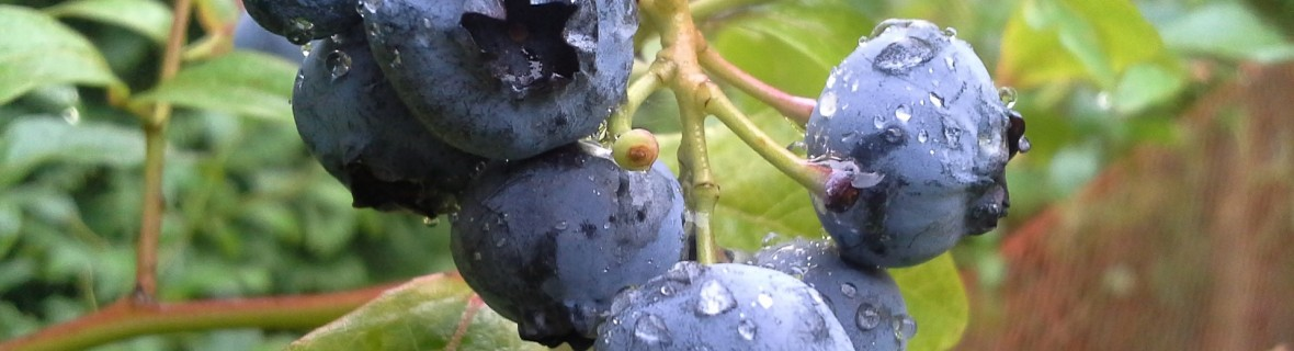 Borówka amerykańska – zawsze na zdrowie