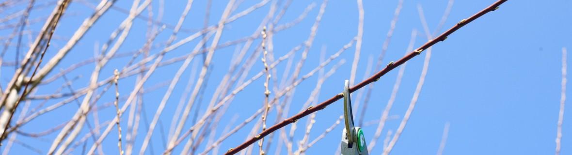 Zimowe cięcie drzew i krzewów owocowych