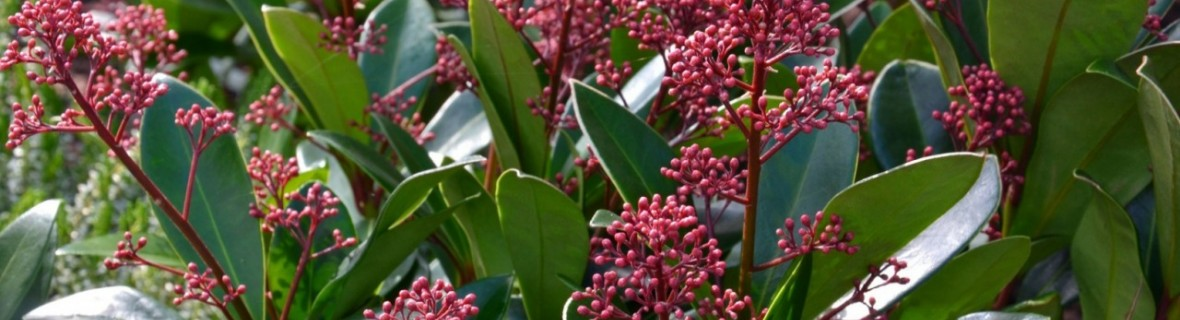 Skimia japońska – krzew ozdobny wiosną, latem i jesienią, a nawet zimą