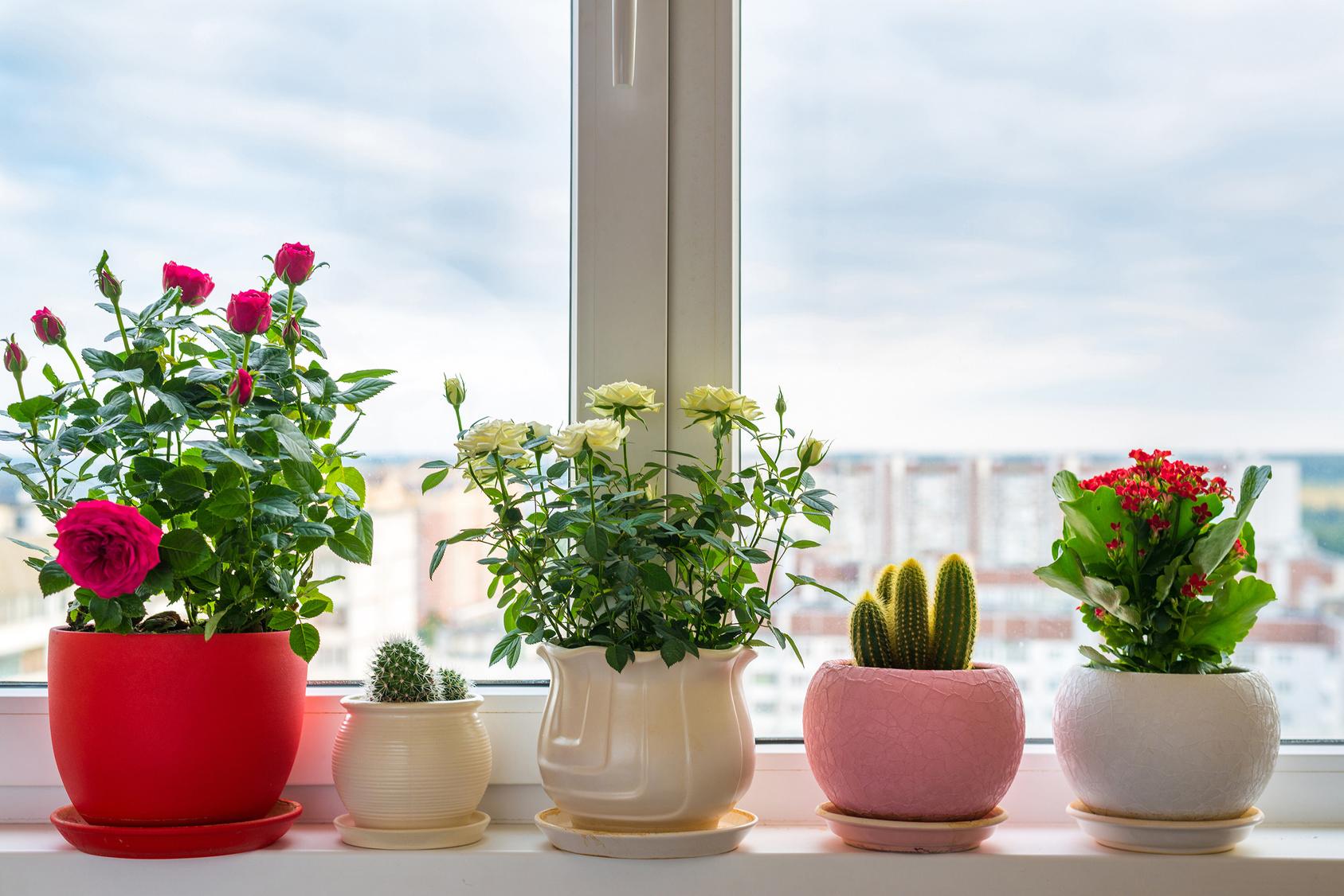 Estetycznie Na Parapecie Rośliny Doniczkowe Pod Oknem