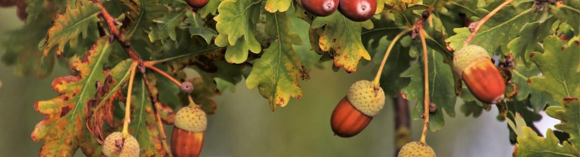 Jesień bogata w żołędzie