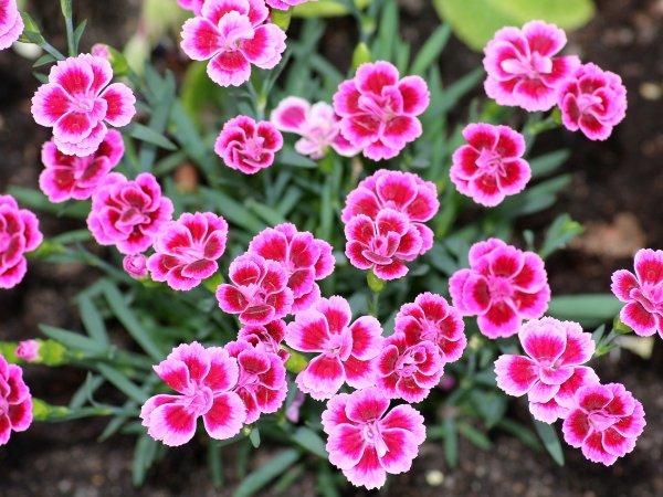 Goździki – boskie kwiaty dla każdego