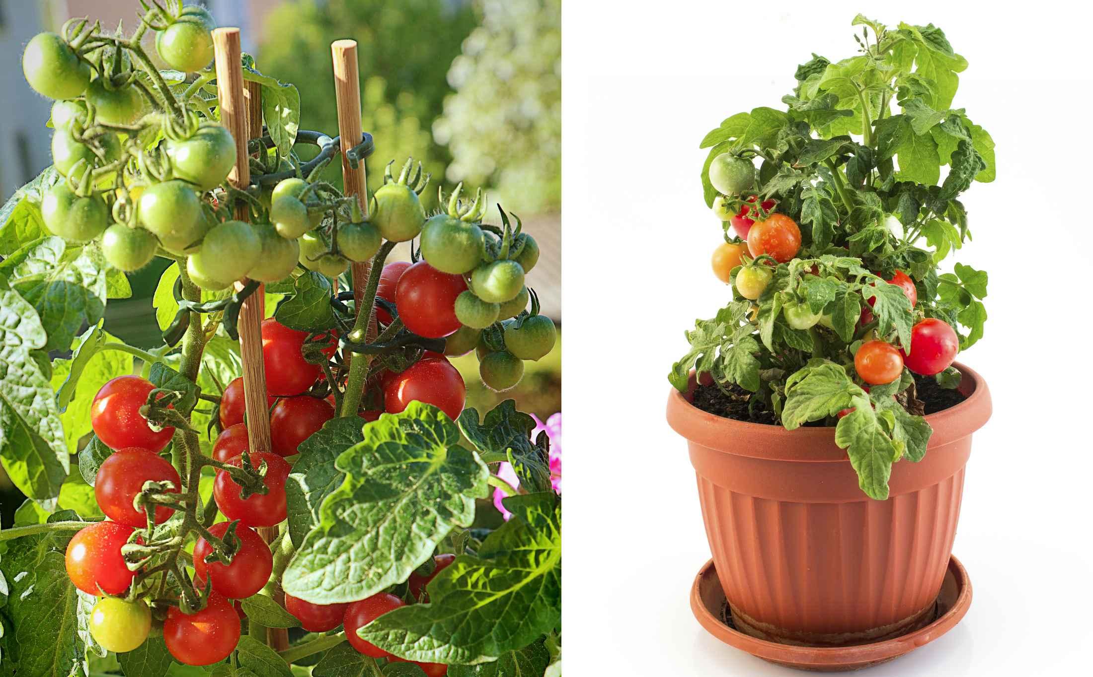 Pomidorki Koktajlowe W Sam Raz Na Grządkę Taras I Balkon
