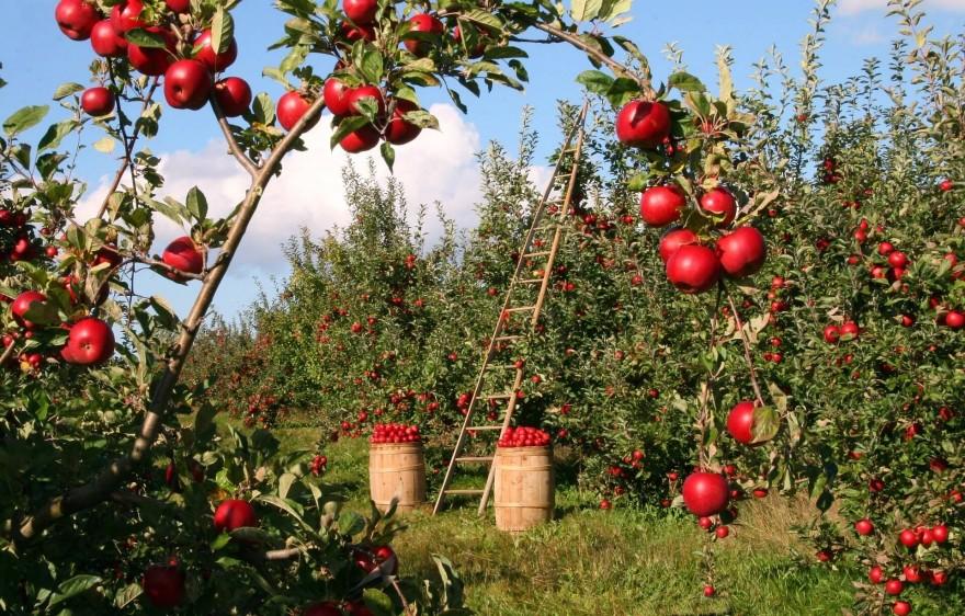 Jak założyć i pielęgnować ogród z drzewami owocowymi - sadzenie i  pielęgnowanie drzew owocowych