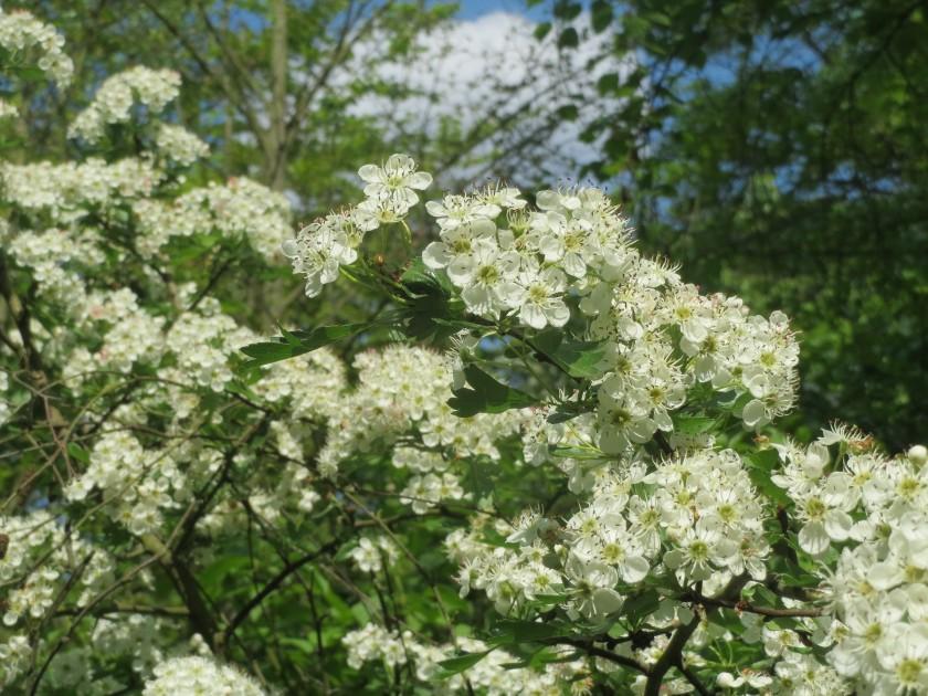 Żywopłot kłujący może być piękną ozdobą ogrodu