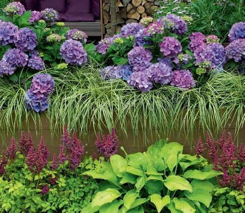 Hortensje ogrodowe i trawy