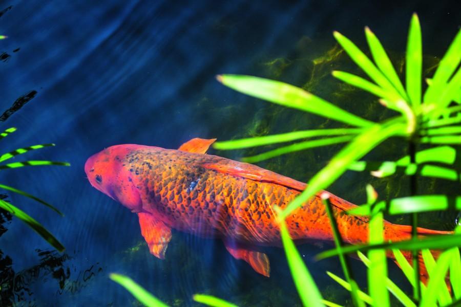 Popularna, najczęściej spotykana ozdobna rybka w stawach hodowlanych to karp Koi