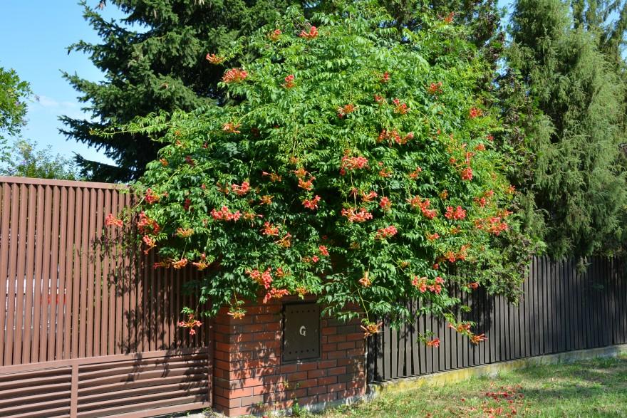 Zdj. 1. Gdy szukamy odpornego, silnie rosnącego i kwitnącego latem pnącza do posadzenia w słonecznym miejscu, warto zainteresować się milinem. Źródło: Archiwum CLEMATIS.