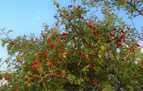 Żywopłot z roślin kłujących – zastosowanie, wybór roślin, pielęgnacja