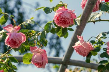 Róża ogrodowa – odmiany, wymagania, pielęgnacja, uprawa