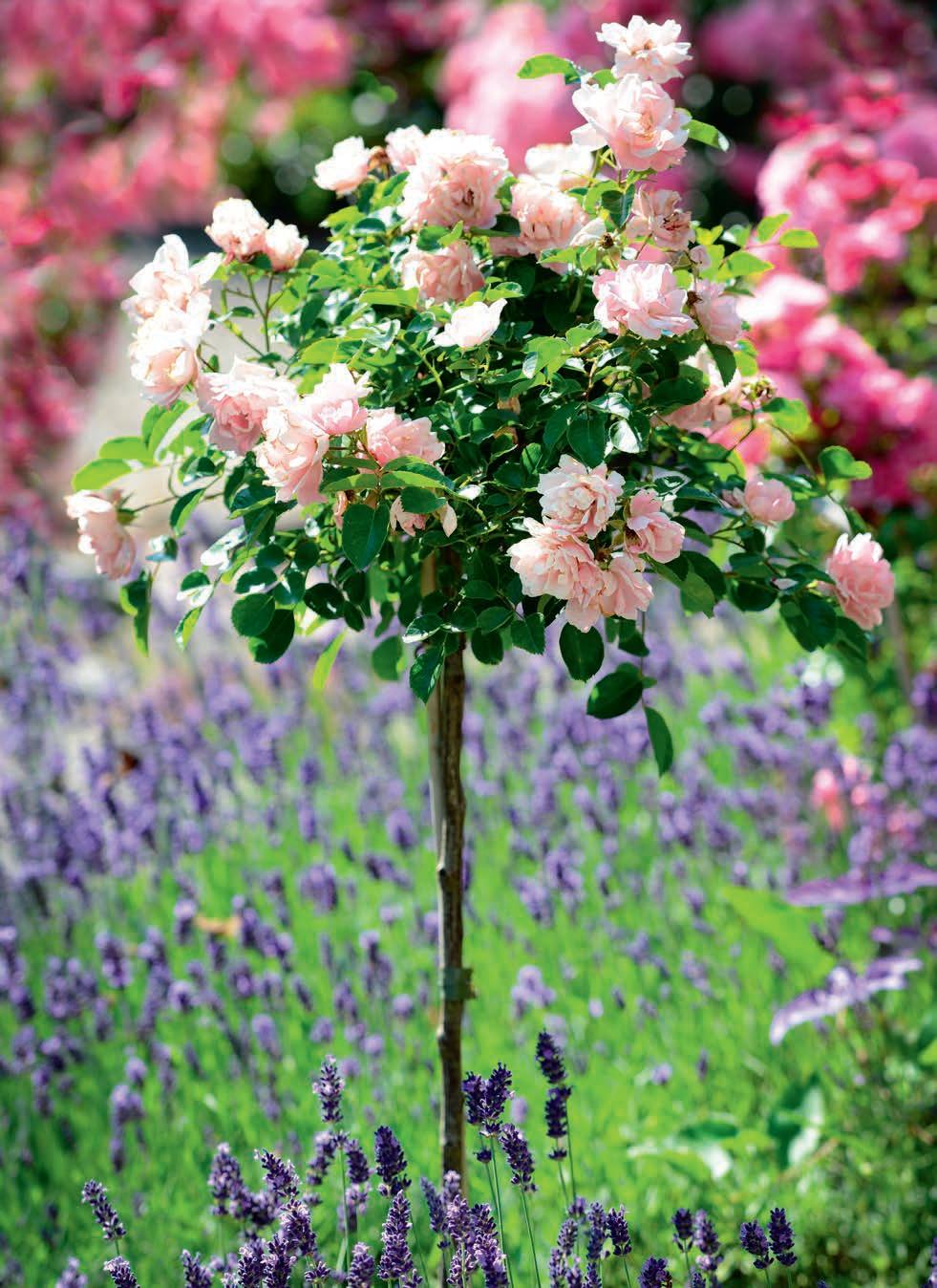 krzewy-ozdobne-na-pniu