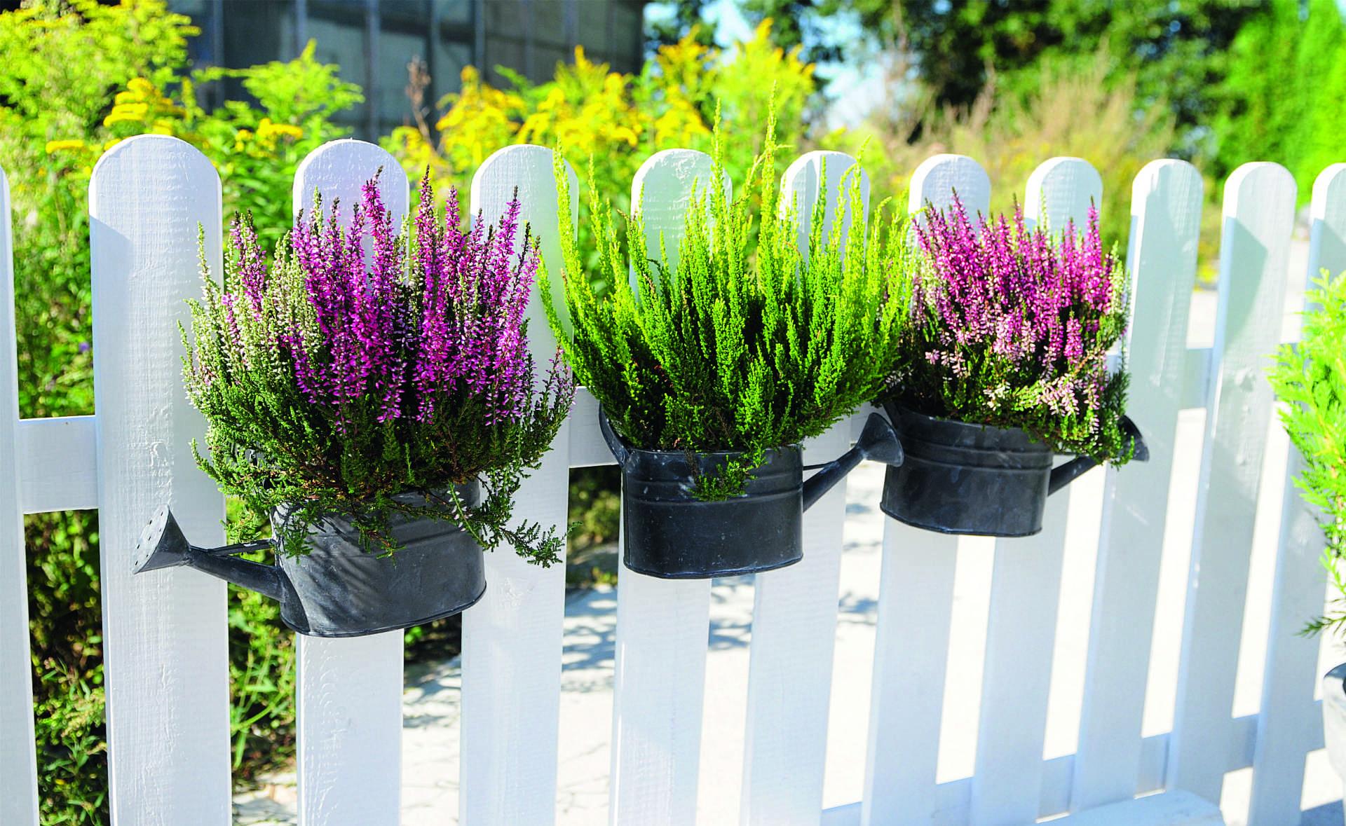 jesienny-ogrod-w-fioletach